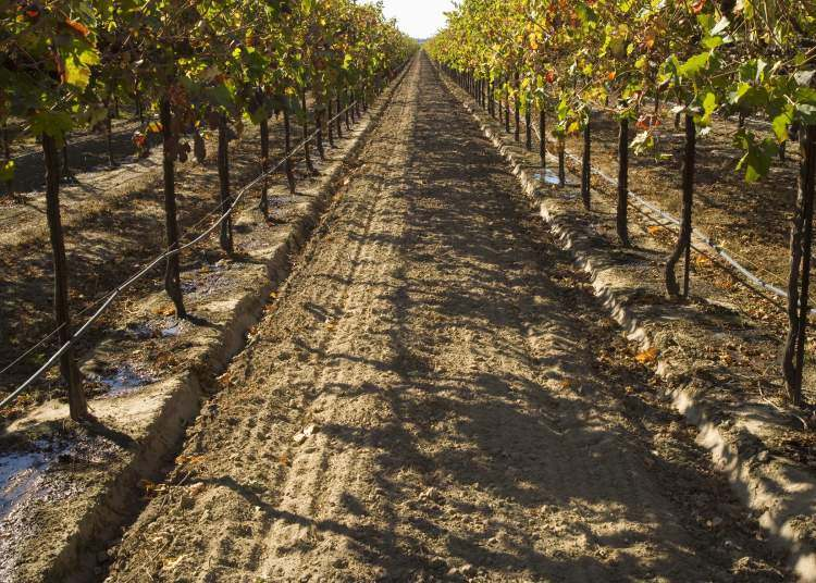 0486-Drip-irrigation-in-a-vineyard-in-California-
